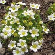 Saxifraga arendsii Snow Carpet - Appx 200 seeds
